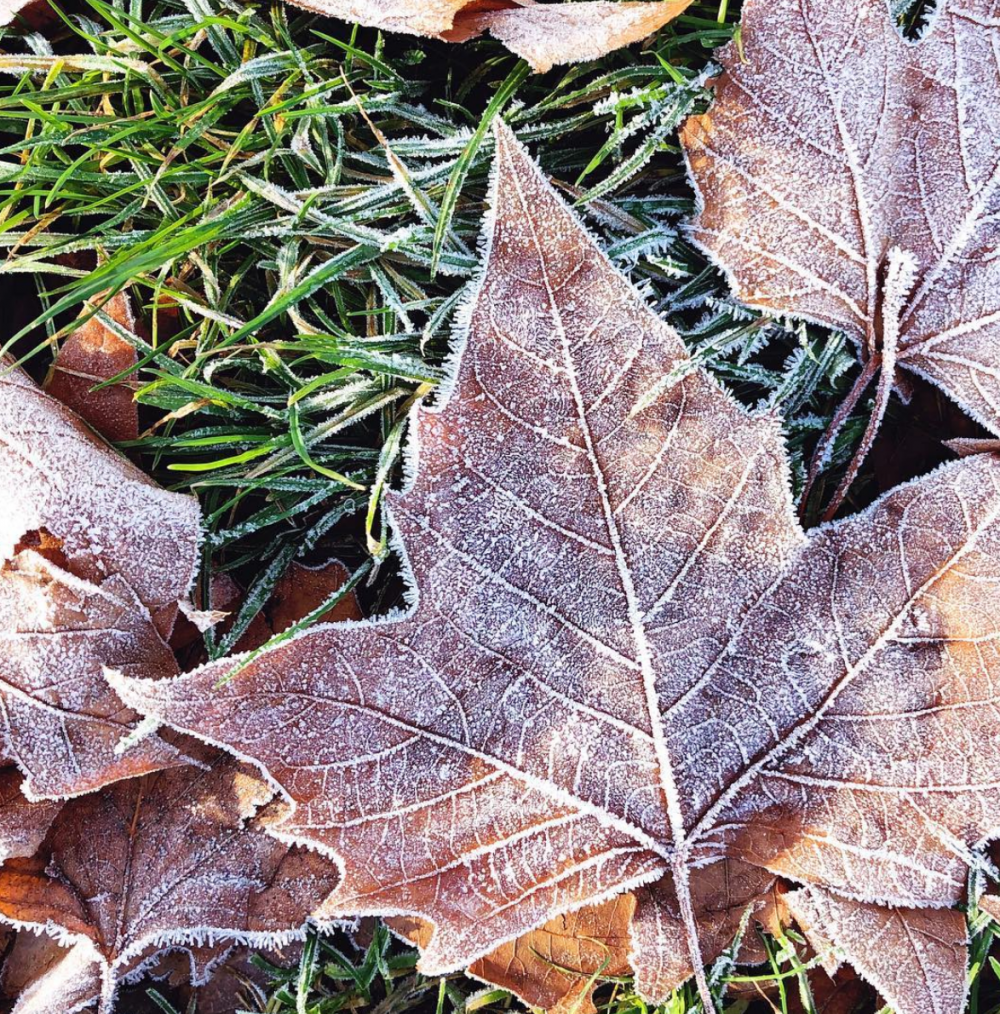 Fallen, frosty leaves